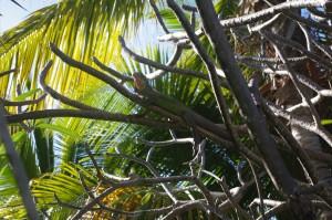 Les iguanes sont communs ici. On voit même des panneaux demandant aux automobilistes de ralentir par endroits pour ne pas les écraser...