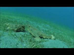 Deux poissons chauve souris, sous la coque.