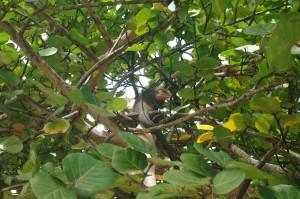 D'autant que nous avions de la compagnie, comme ce gros iguane perché dans un arbre.