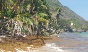 Les masses brunes sur la plage et celles flottant sur l'eau sont des sargasses. Dès qu'elles moisissent, elles dégagent une odeur évoquant une fosse septique...