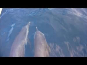 Deux dauphins à l'étrave...