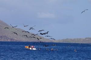 Une barque de pêcheurs, suivie par une nuée de pélicans (en dessous) et de frégates (dans les airs)